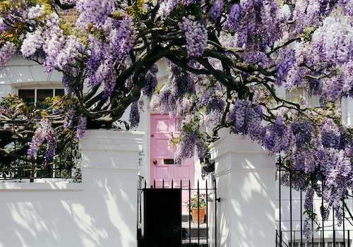 Blossoming wisteria tree covering up a house on a bright sunny day in Hampstead